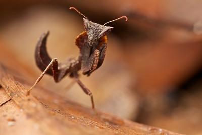 Juvenile dead leaf mantis (Brancsikia sp.)
