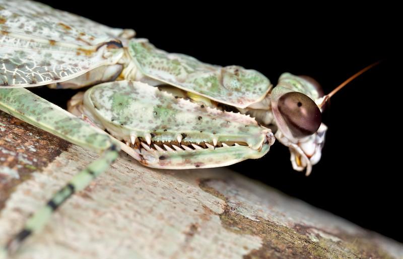 Lichen camouflaged mantis (Theopompa sp.)