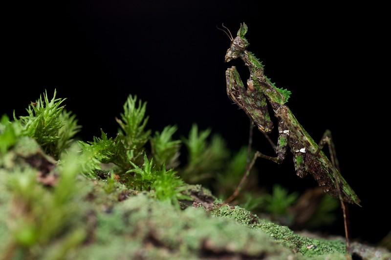 Moss mantis (Haania sp.)