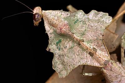 Dead leaf mantis (Deroplatys lobata)