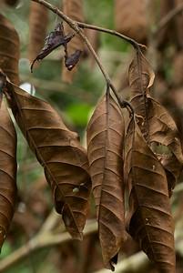 Dead leaf mantis (Acanthops sp.)