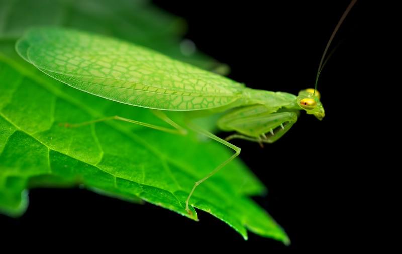 Leaf-veined praying mantis (Tropidomantis sp.)