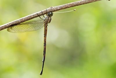 Adult owlfly
