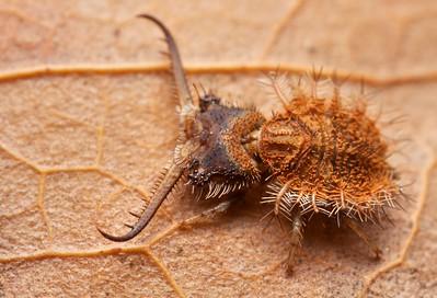 Owlfly larva