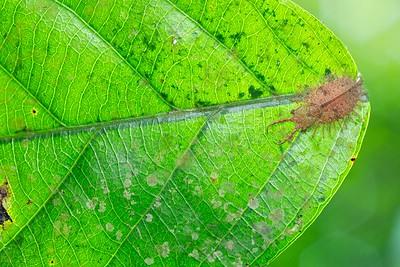 Owlfly larva (Ascalaphidae)