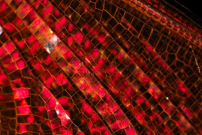 """All that glitters"" - Dragonfly wing abstract"