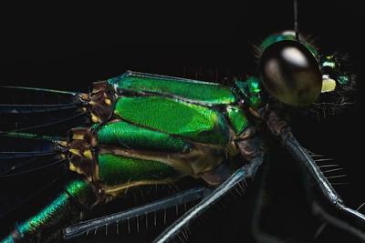 Iridescent green damselfly (Calopterygidae)