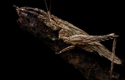 Camouflaged katydid