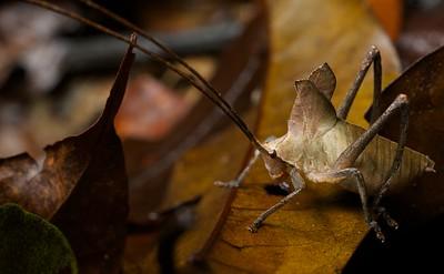 Juvenile leaf-mimicking katydid