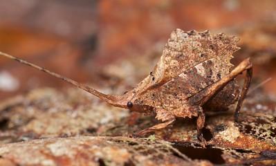 Dead leaf-mimicking katydid (Typophyllum sp.)