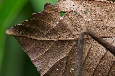 Dead leaf-mimicking katydid