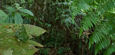 Camouflaged juvenile katydid (Anapolisia maculosa)