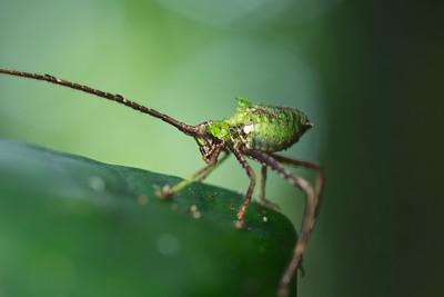 Leaf-mimicking katydid nymph