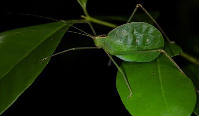 Leaf-mimicking katydid