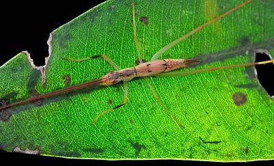 Stick katydid