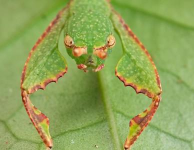 Leaf insect (Phyllium sp.)