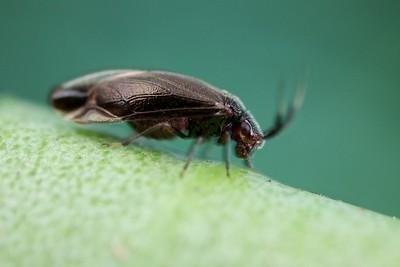 Beetle-mimicking bark louse (Psocoptera)