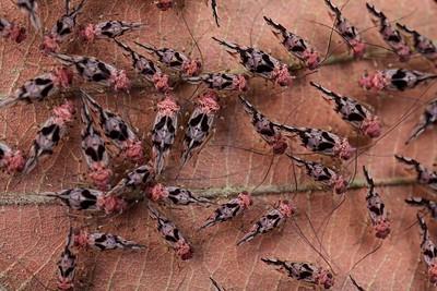 Barkflies (Psocoptera)