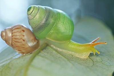 Carnivorous snail (Edentulina sp.) with prey