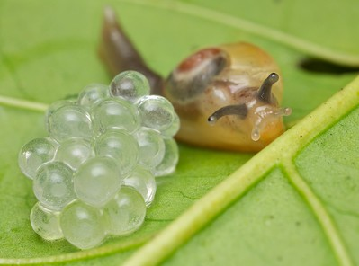 Snail with newly laid eggs