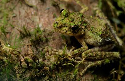 Mossy frog (Spinomantis aglavei)