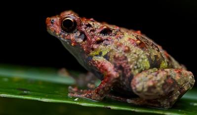 Rain frog (Scaphiophryne sp.)