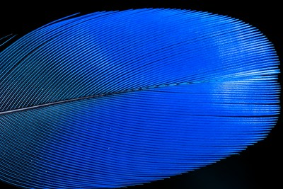 Blue bird feather