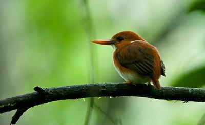 Pygmy kingfisher (Corythornis madagascariensis)