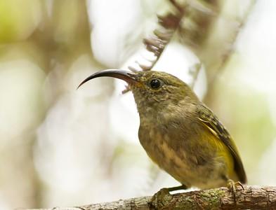 Sunbird-Asity (Neodrepanis coruscans)