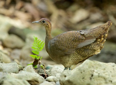 Great Tinamou (Tinamus major)