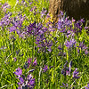 Beautiful Spring flowers at the Williamette Park, Portland Oregon