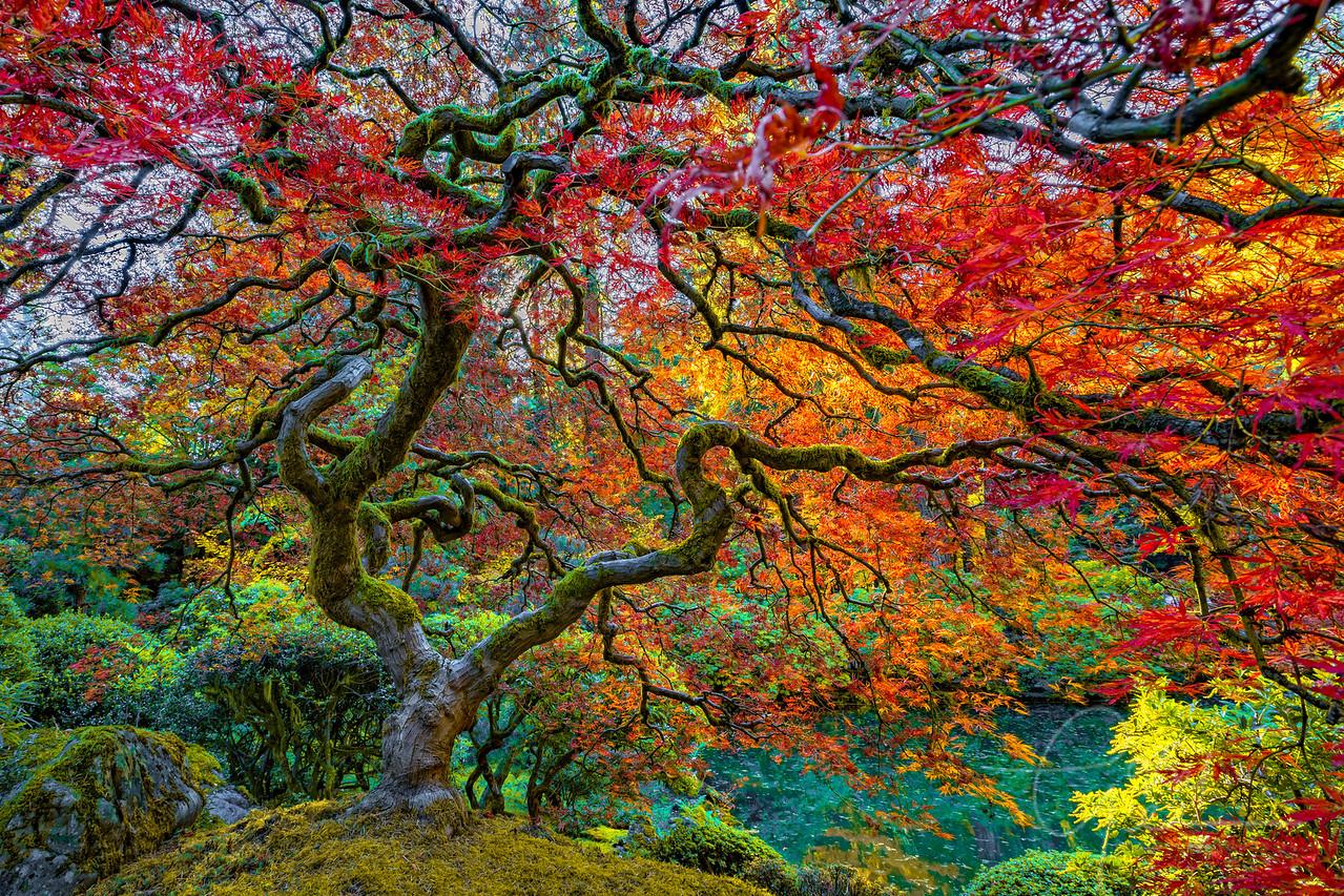 Japanese Maple Tree Portland Oregon