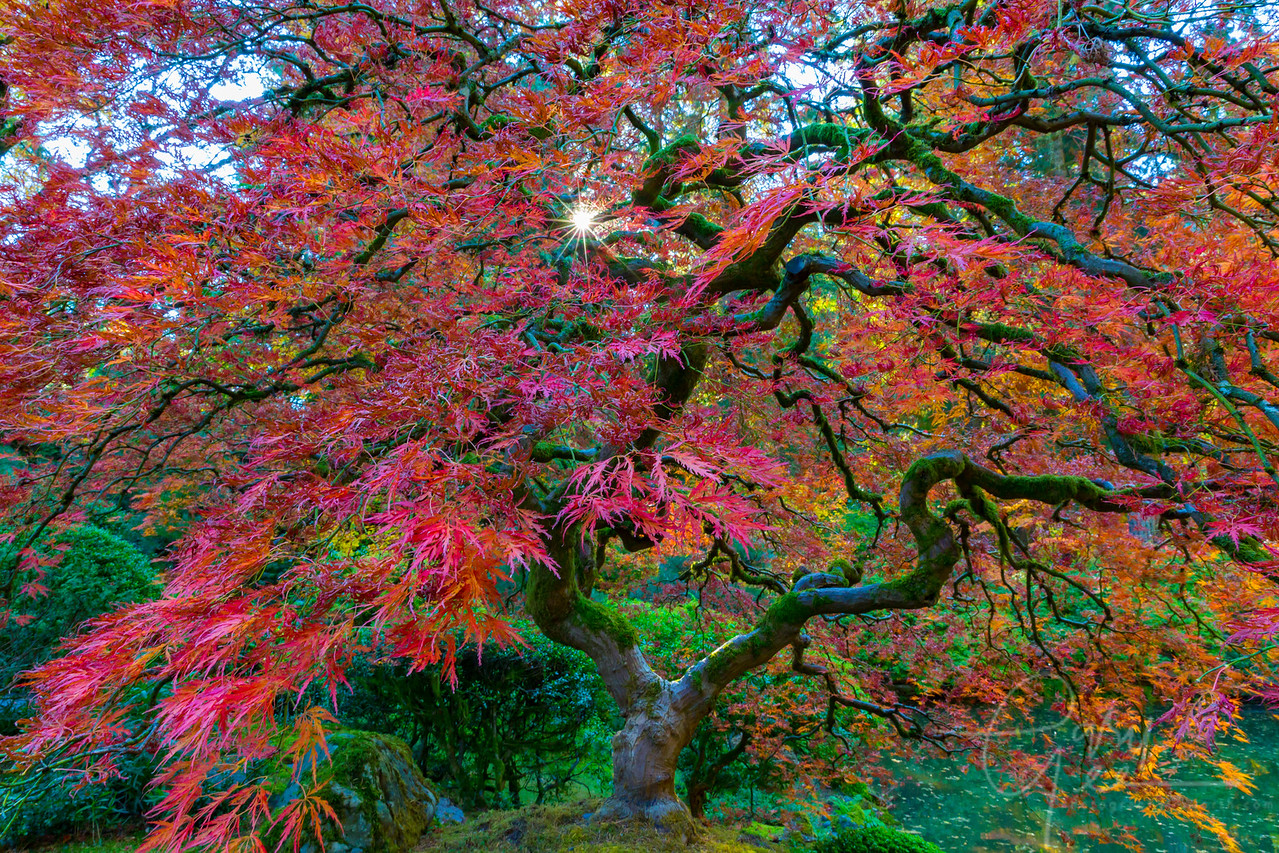 Japanese Maple Tree in the Fall
