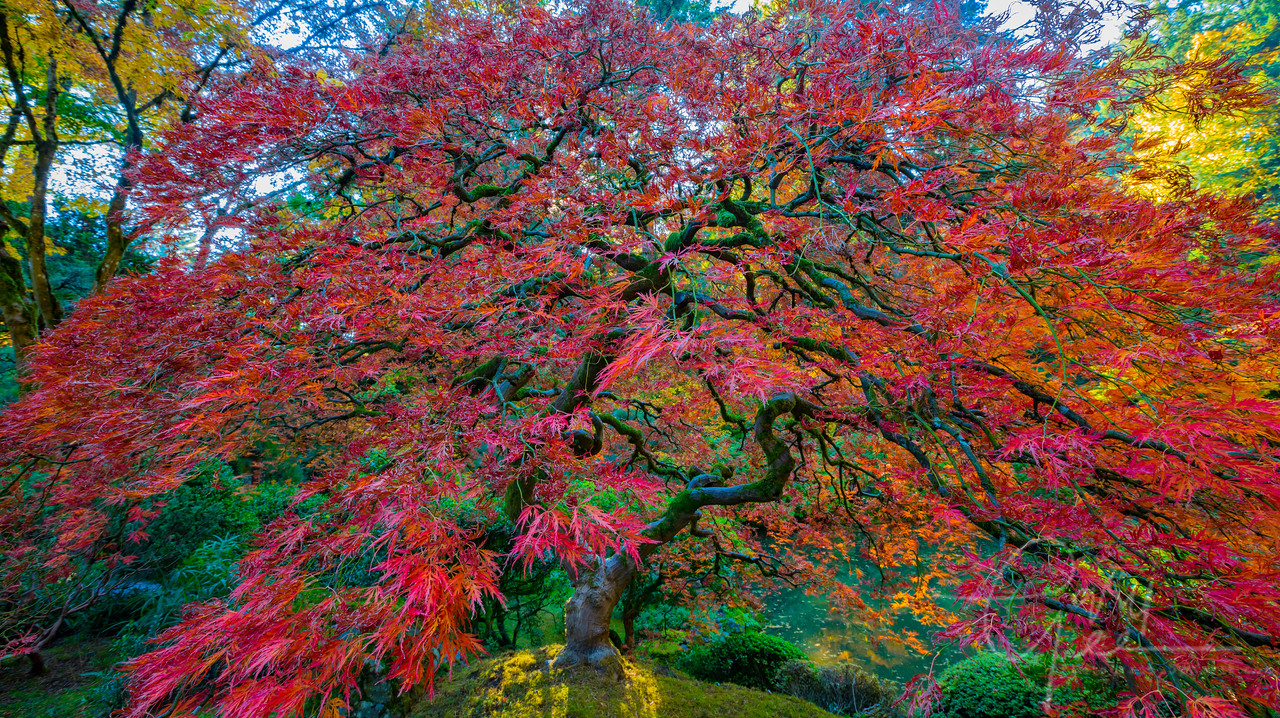 Iconic Tree in the Fall at the Portland Oregon Japanese Garden 2017