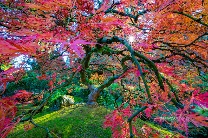 Japanese Maple Tree in the fall with the sun peering through