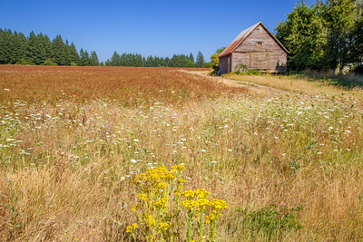 Field of flowers and grain (red millet?) and old barn between Eagle Creek and Barton, Oregon.