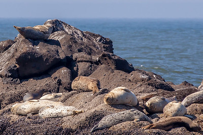 Lazy Harbor Seals, Yaquina Head Outstanding Natural Area, Newport, Oregon.
