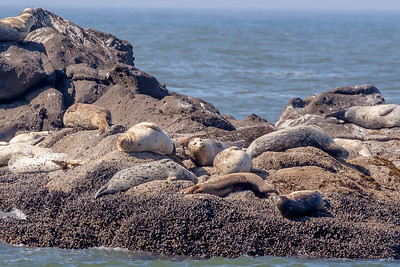 Harbor seals lounge on rocks in the Pacific Ocean at Yaquina Head Outstanding Natural Area at Newport, Oregon.