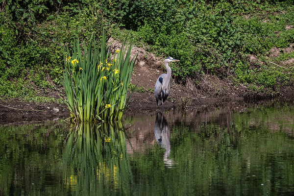 Great blue heron and yellow flag iris