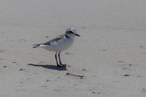 Snowy plover, Check out those bird bands!