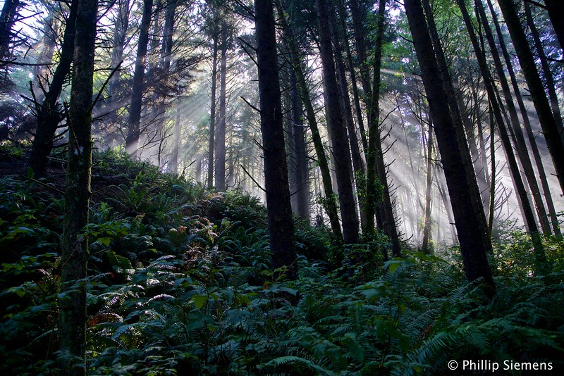 Sun rays in a Sitka Spruce forest