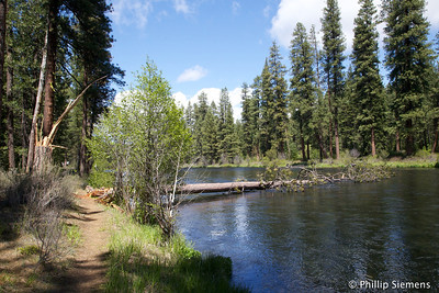 Tree down in the Metolius River