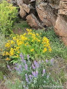 Spring flowers near Whychus Canyon