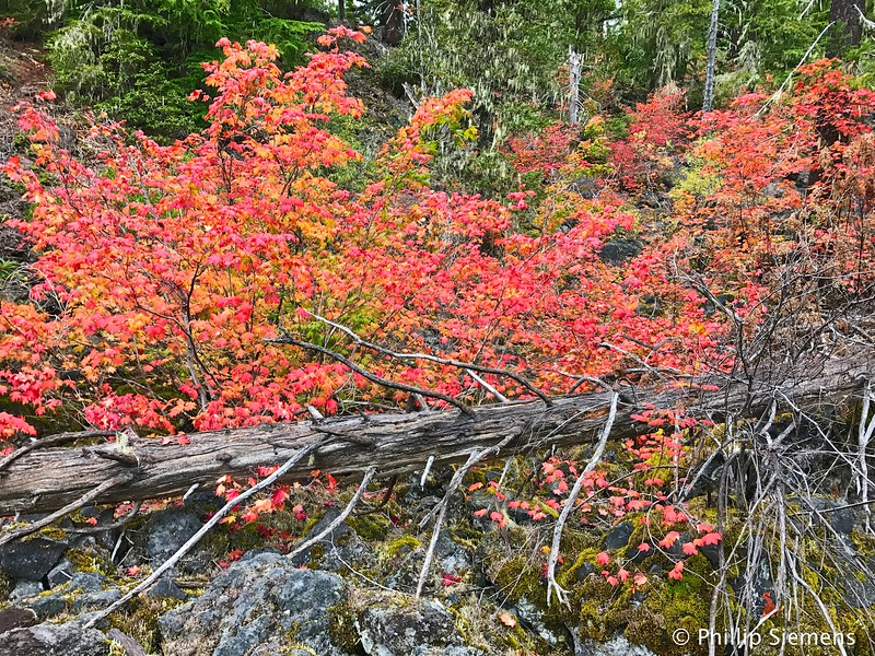 Vine Maple on the trail to Linton Lake