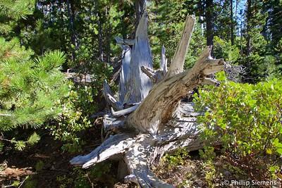 Old stump near Jack Lake trailhead