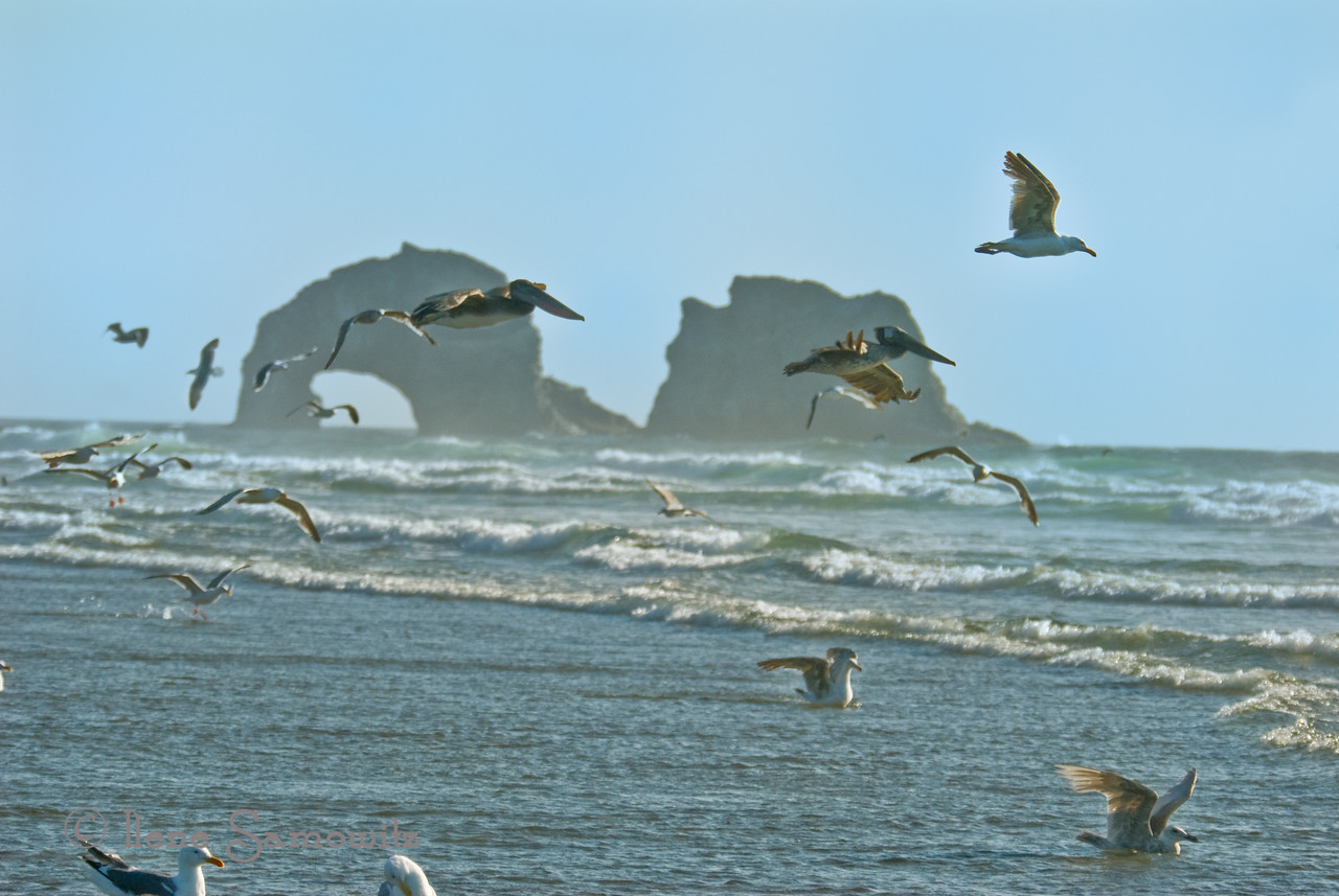 Brown Pelicans and Gulls, Rockaway Beach, Oregon
