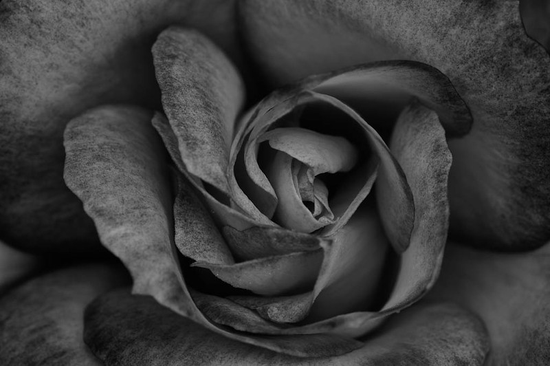 Monotone Rose - Shore Acres State Botanical Garden, Oregon - Darren Stratemeier - June 2010