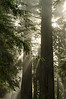 """God Beams"" - Jedediah Smith Redwoods Preserve, California - Mark Gromko - June 2012"
