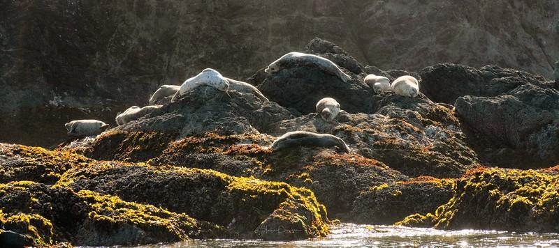 Bandon Beach Sea Lions ~ Oregon