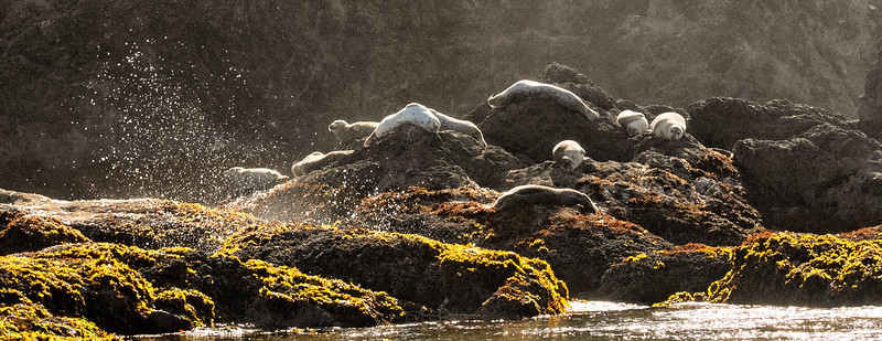 Bandon Beach Sea Lions ~ Oregon